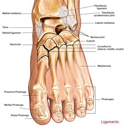 anatomy of the foot & ankle - total ankle replacement, Human body