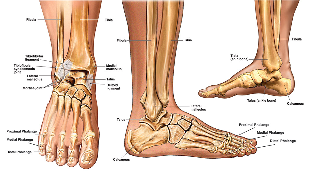 Anatomy Of The Foot Ankle Total Ankle Replacement
