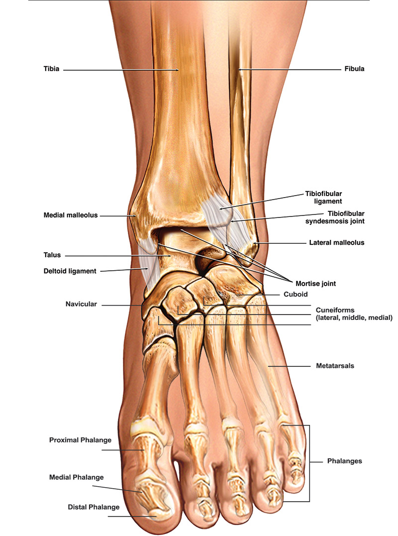 Anatomy of the Foot and Ankle - Foot and Ankle Diagram - Anatomy of ...